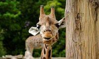 Pavilon žiraf pro Královedvorskou ZOO